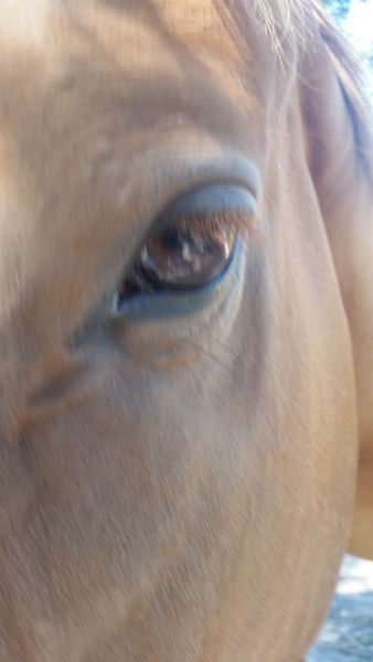 healthy horse eye