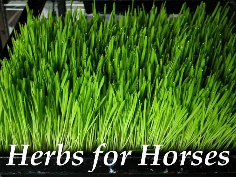 Herbs for horses, dried herbs, herb mixtures