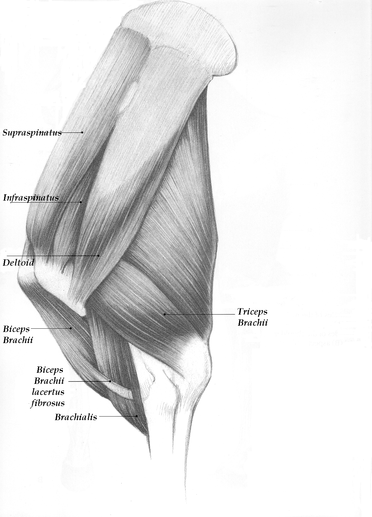 Shoulder image